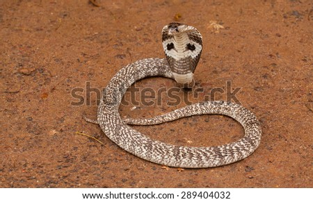 white cobra - stock photo