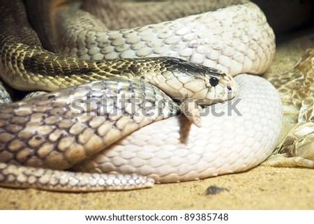white cobra - stock photo