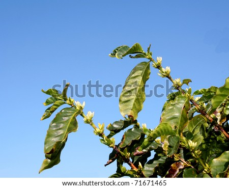 White coffee flowers (coffea arabica)  growing in axillary clusters on a green leafy branch. - stock photo