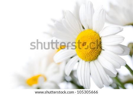 White Colored Daisy Isolated on White Background - stock photo