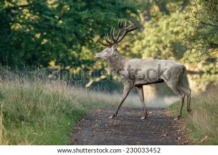 White colored Red Deer walks through the forest. - stock photo