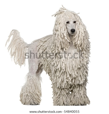 White Corded standard Poodle standing in front of white background - stock photo