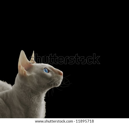 White Cornish rex - stock photo
