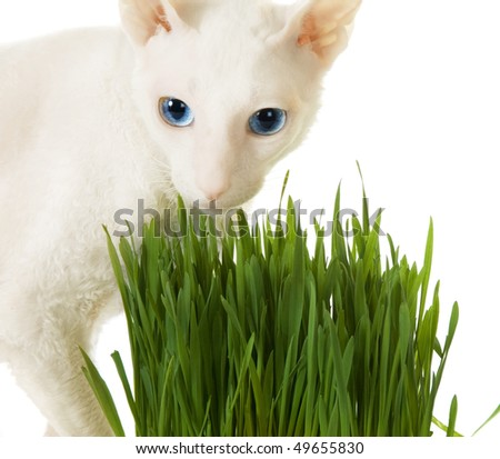 White  cornish-rex and green grass - stock photo