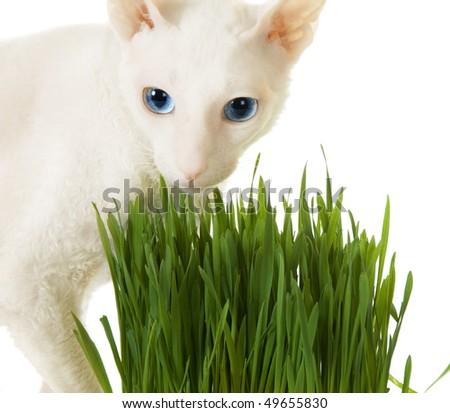 White  cornish-rex and green grass - stock photo