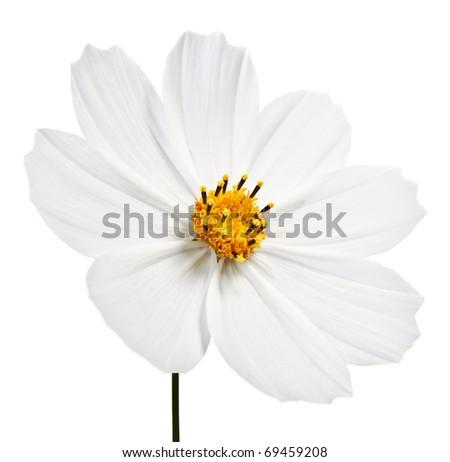 white cosmea flower - isolated on white - stock photo