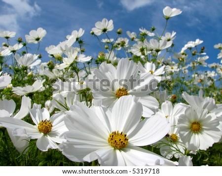 White Cosmos - stock photo