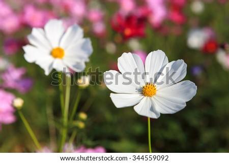 White Cosmos Flower close up - stock photo