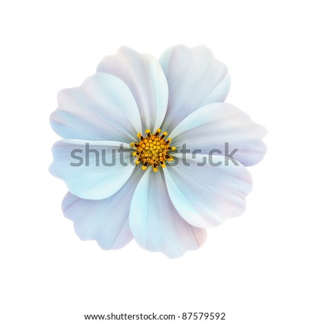 White cosmos flower isolated on white background - stock photo
