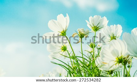 White cosmos flower on blue sky background soft focus. - stock photo