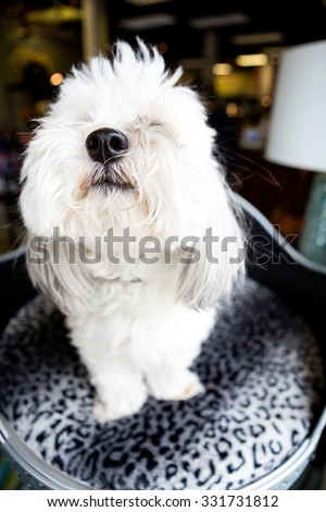White Coton De Tulear sitting in a dog bed in a shop window