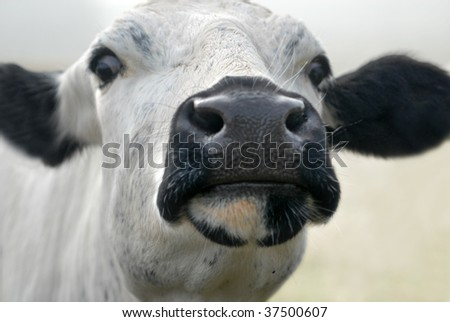 White cow close up - stock photo