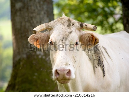 white cow in the pasture mountain with trees - stock photo