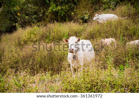 White cow in the rice field, Chaing Mai, Thailand.