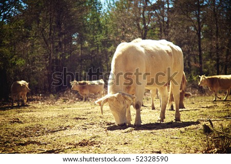 White cows - stock photo