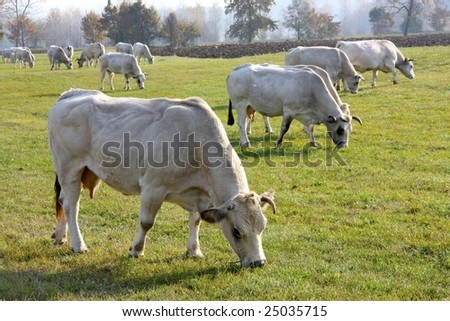 White cows grazing in Monferrato, Italy - stock photo