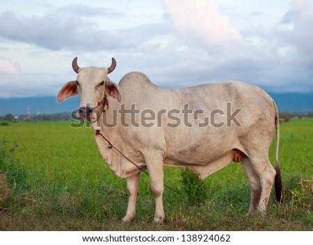 White cows on a farmland - stock photo