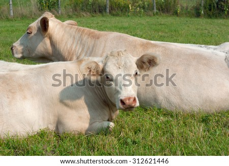 white cows resting in a meadow