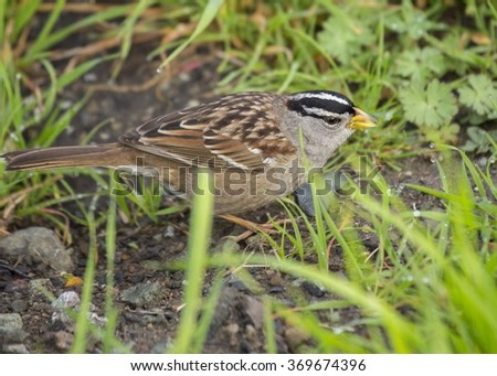 White Crowned Sparrow spotted in California - stock photo