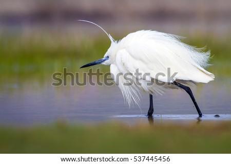 White cute bird colorful nature background stock photo 537445531 colorful nature background little egret egretta garzetta high resolution and voltagebd Images