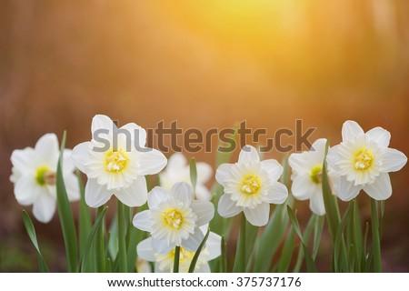 White daffodils in sunset light. Instagram filter. - stock photo