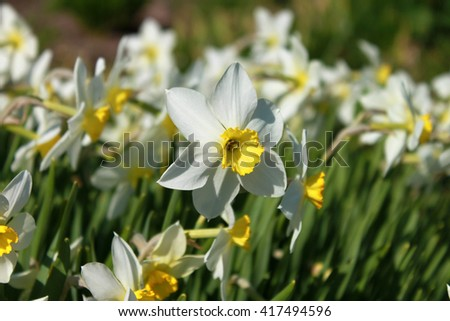 White Daffodils in the garden