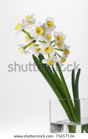 White daffodils on white, studio shot