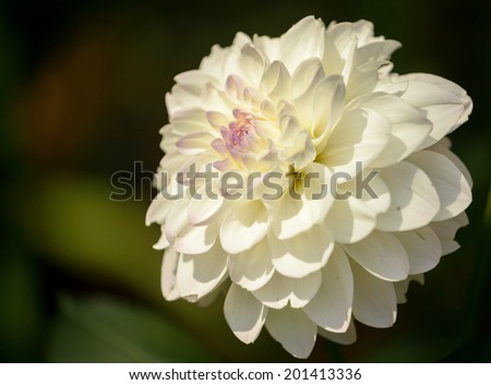 White dahlia:Evelin flowers closeup.Copy space. - stock photo