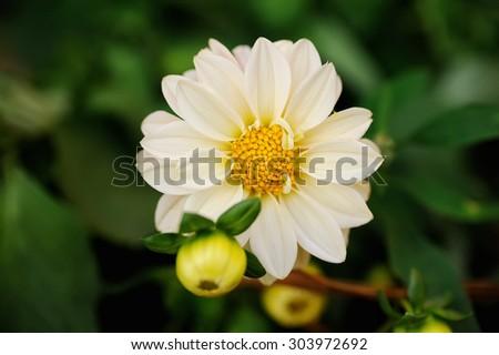 White dahlia on a green background - stock photo
