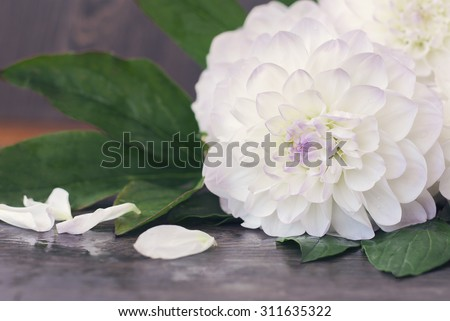 White dahlia with purple splashes and drops of water on a blurred background. Few petals scattered near the flower. - stock photo