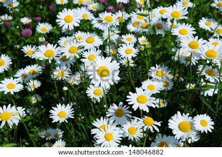 White daisies - stock photo