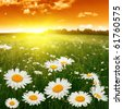 White daisies at sunset. - stock photo