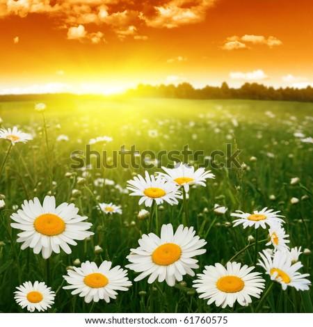 White daisies at sunset. - stock photo