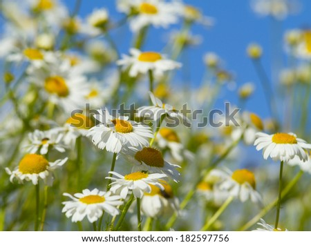 white daisies in a meadow - stock photo
