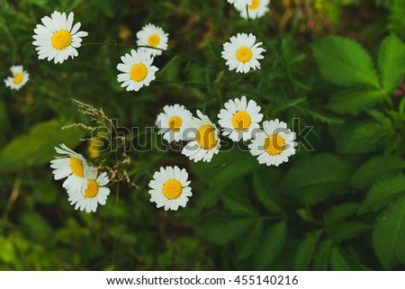 White daisies in a meadow high in the green grass - stock photo