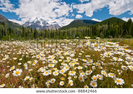White daisies in full bloom with majestic Mount Robson in the background during summer. - stock photo
