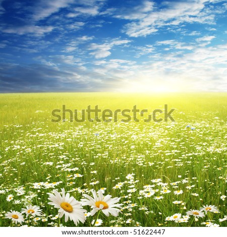 White daisies in the field on summer day. - stock photo