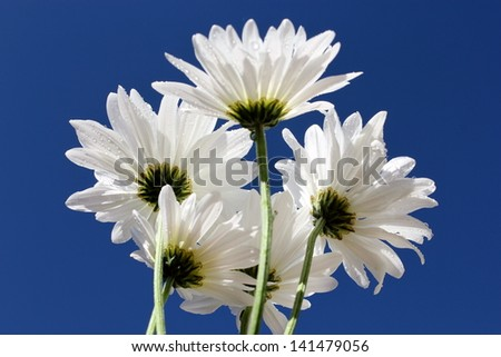 White daisies on a clear blue day - stock photo