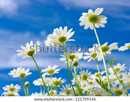 white daisies on blue sky - stock photo