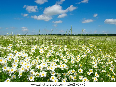 white daisies on blue sky background  - stock photo