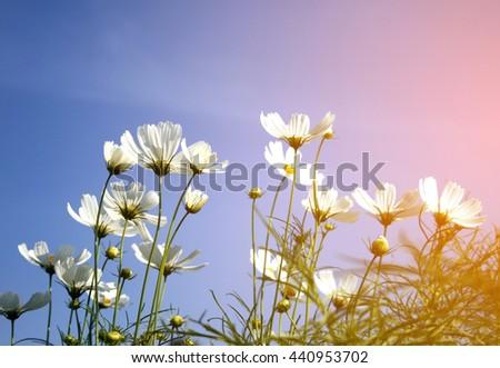 white daisies on blue sky background  with burst light - stock photo