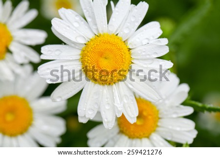 white daisies with drops - stock photo