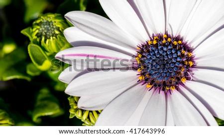 White Daisy bush Osteospermum ecklonis - stock photo