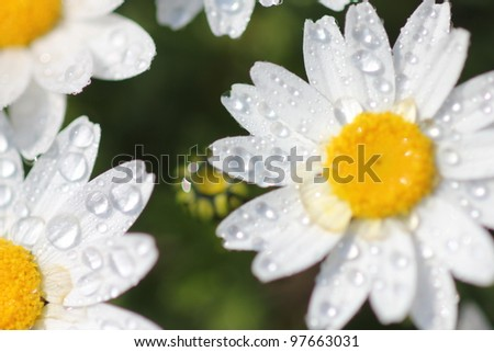 White daisy flower field, high angle view - stock photo