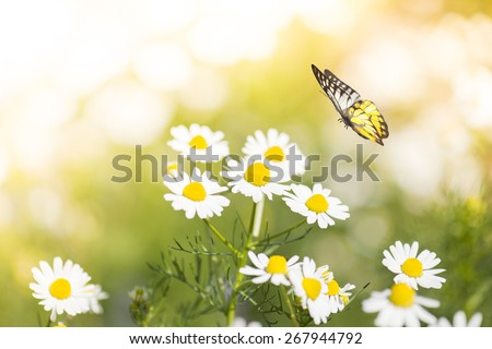 White Daisy Flower in Field With Butterfly - stock photo