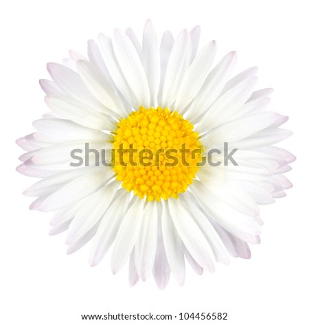 White Daisy Flower with Yellow Center Isolated on White Background - stock photo