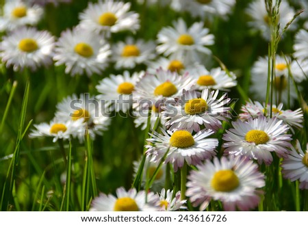 white daisy flowers in a grass