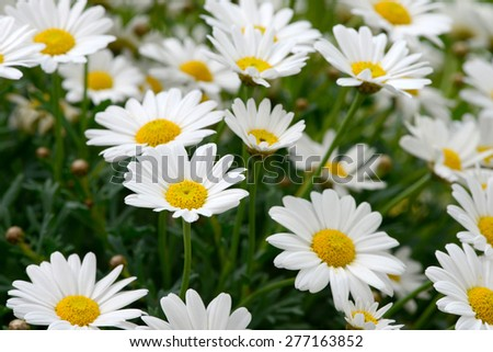 white daisy in the nature - stock photo