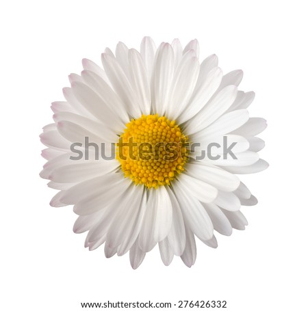 White daisy isolated on white background - stock photo