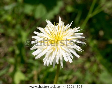 White dandelion flower full swing stock photo royalty free white dandelion flower is in full swing mightylinksfo